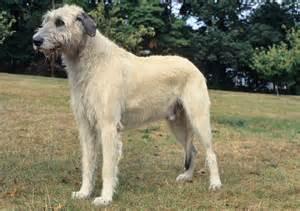 irish wolfhound breed information