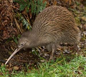 5 Interesting Facts About North Island Brown Kiwis ...