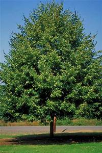 Decidious and Shade Trees - Trees On The Move Inc