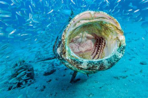 grouper goliath itajara florida fish mouth epinephelus massive information photoshelter mpo side hd neill patrick michael