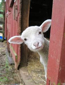 Baby Lamb Farm Animals Cute Pictures | Babies beautiful ...