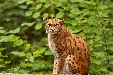 Eirāzijas lūsis - Lūši (Lynx) - redzet.eu