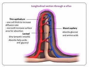 56 Absorption  Small Intestine And Significance Of Villi