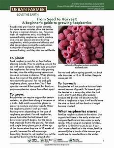 Raspberries  From Seed To Harvest
