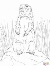 Prairie Dog Coloring Pages Drawing Template Town Standing Drawings Sheet Getdrawings Printable Farm Paintingvalley Results Tailed sketch template