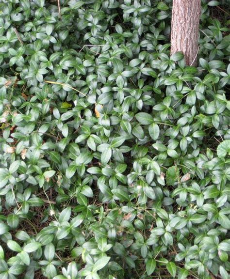 growing ground cover 17 best ideas about vinca ground cover on pinterest myrtle ground cover ground covering