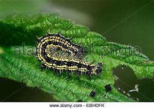 Scarlet tiger caterpillar (Callimorpha dominula). A hairy ...