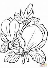 Magnolia Coloring Pages Saucer Printable Supercoloring Drawing Crafts Paper Mentve Innen Categories sketch template