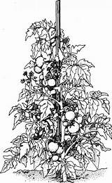 Tomato Plant Plants Colouring Drawing Cliparts Vine Pages Drawings Sketch Vegetable Supports Coloring Fruit Stake Lot Sprawl Let Them Grovida sketch template