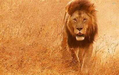 Lion Wallpapers Wild Screensavers Screensaver Background Animal