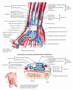 Anatomy Of The Wrist