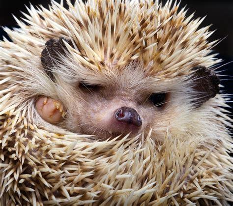 pet hedgehog hedgehog pet bill rolls into georgia house