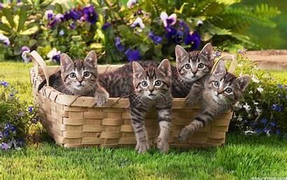 Cats Basket Wallpapers Cat Kittens Backgrounds Kitten