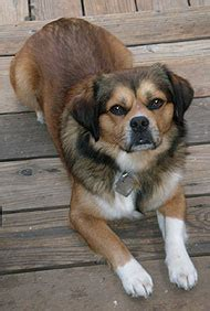 beagle tibetan spaniel mixed breed dog  dog
