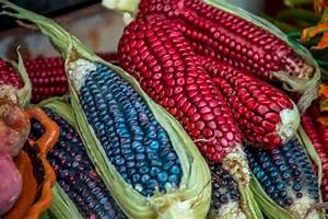Small Farmers In Mexico Keep Corn U2019s Genetic Diversity Alive