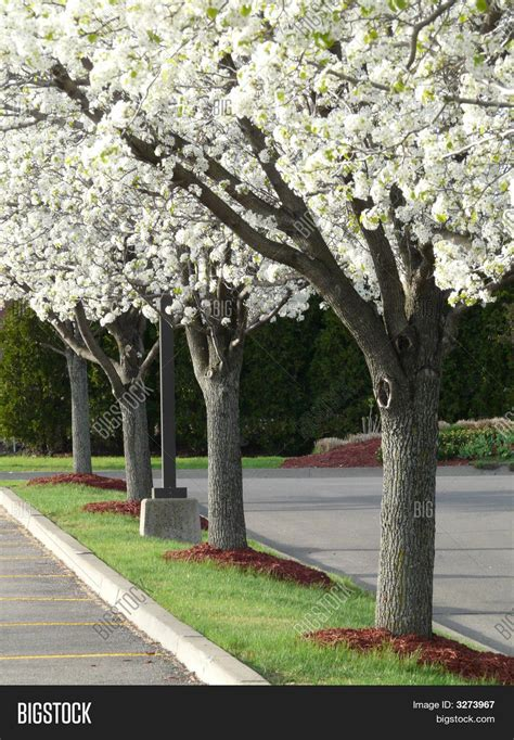 large flowering trees white flowering trees www pixshark com images galleries with a bite