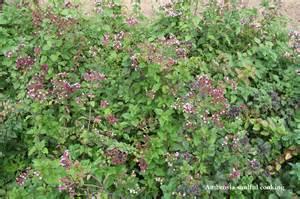 Oregano Plants Herb Benefits Picture