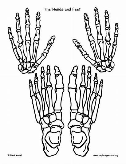 Skeleton Feet Hands Template Worksheet Bones Human