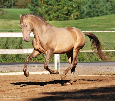 andalusian caramel horses horse lusitano pearl pre colors chestnut champagne stallion vikarus bay colour deviantart coat gene palomino hex names