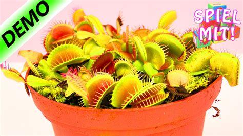 fleischfressende pflanze frisst kaese venus fliegenfalle