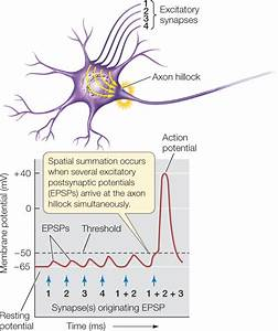 Neuron Diagram Axon Hillock Image collections - How To ...