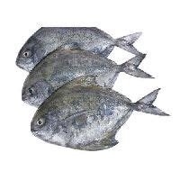 pomfrets fish manufacturers suppliers exporters  india