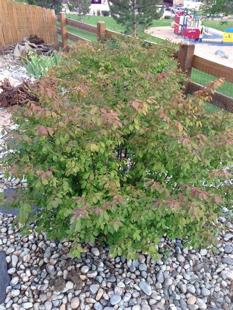 common garden shrubs identification are these bushes sun damaged gardening landscaping stack exchange