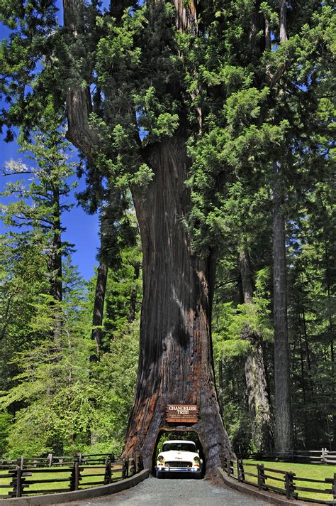 chandelier drive through tree california redwoods places to visit in the redwood