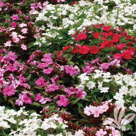 www plant shed sunpatiens the plant shed