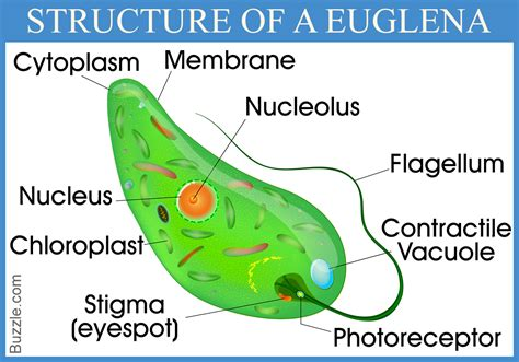 Diagram Euglena Sp by Enrich Your Mind With These Mindblowing Euglena Facts