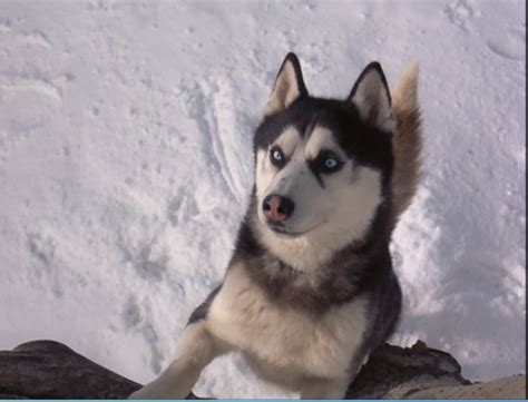 Siberian Huskies Images Demon From Snow Dogs Wallpaper And