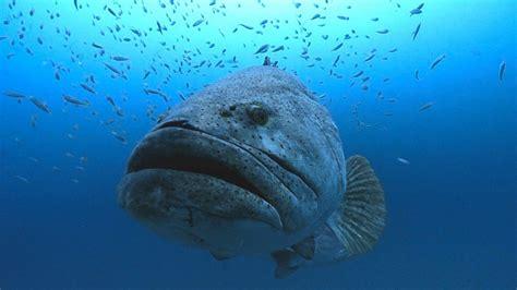 grouper goliath huge groupers wreck mero sea swims photographer thistlegorm