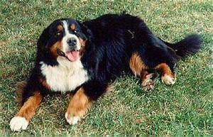 Bernese Mountain Dog Size Chart