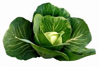 Cabbage Clipart Vegetables Cliparts Clip Transparent Lettuce