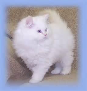 Flame Point Himalayan Cat