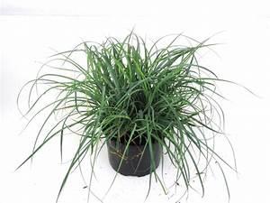 Gräser Zurückschneiden Frühjahr : koeleria macrantha schillergras pflanzen versand harro ~ Lizthompson.info Haus und Dekorationen