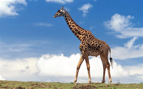 Hd Giraffes Wallpapers And Photos