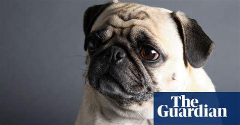 vets  prospective dog owners  avoid pugs