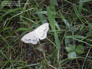 Small White Moth Identification