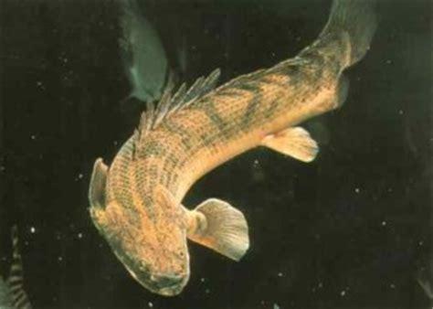 congicus bichir polypterus endlicheri congicus