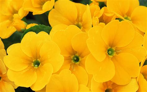 Yellow Flowers Wallpapers Wallpapersafari