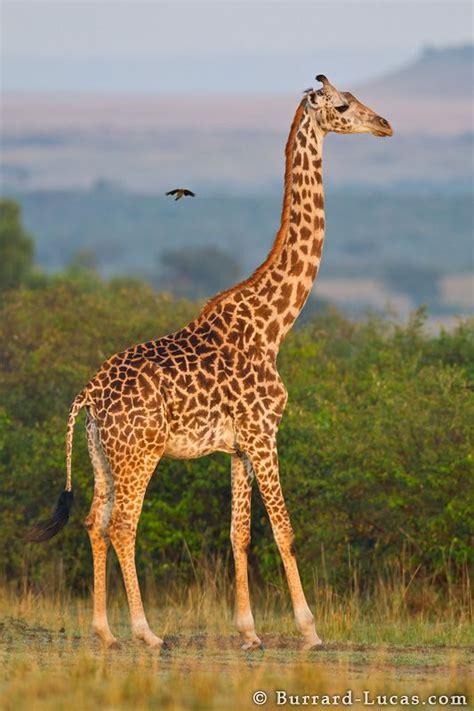 picher  graffe giraffe giraffe images giraffe pictures