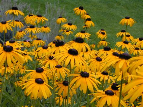 black eyed susans those aren t weeds that s something you can eat folks cafe garden