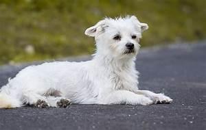 Kleiner Weißer Couchtisch : hund wei wei er kleiner kostenloses foto auf pixabay ~ Markanthonyermac.com Haus und Dekorationen