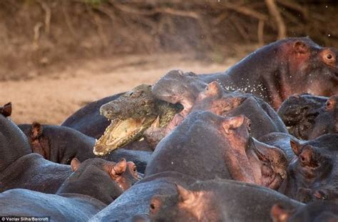 Crocodile Attacked By Angry Hippos