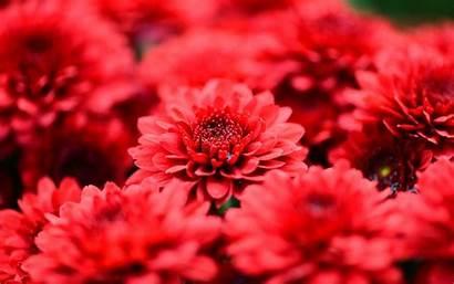 Flowers Fleurs Flower Chrysanthemum Rouges Wallpapers Petal