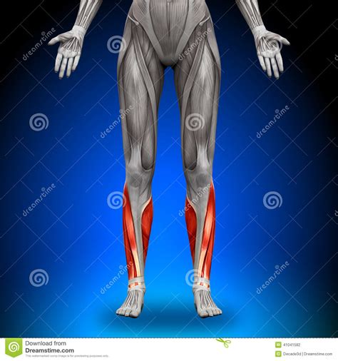 Well you're in luck, because here they come. Calves - Female Anatomy Muscles Stock Illustration ...