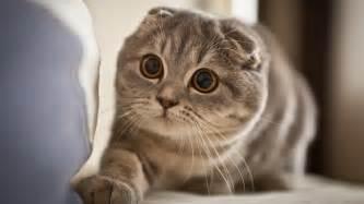 scottish fold cats 31cute scottish fold cat photos weneedfun