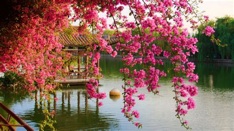 pink spring flowers   park chinese kunming china hd