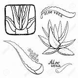 Aloe Vera Sketch Healing Drawing Drawn Hand Vector Cosmetics Herb Maguey Illustration Getdrawings Depositphotos Drawings Shutterstock sketch template